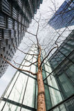 Looking up at young tree surrounded by skyscrapers Royalty Free Stock Image