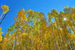 Looking upward at Fall Colors in Colorado filtering out the sun stock photo