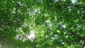 Looking upward and falling gently backward from a sunshine filled fresh green tree canopy, gently rustling in the breeze. Looking upward and falling gently stock video