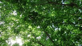 Looking upward through tree canopy leaves swaying in the breeze with the sun through the leaves with a gentle wondering movement. Looking straight upward stock footage