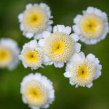 Looking Upwards. A small collection of feverfew flowers royalty free stock photos
