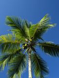 Upward view of a palm tree with coconuts. Looking upwards into the crown of a coconut palm tree with coconuts Royalty Free Stock Images