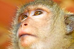 Looking view of the monkey Stock Photo