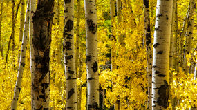 Looking Through the Yellow Aspens Royalty Free Stock Photo