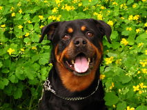 Looking at you. Rottweiler portrait Stock Photo