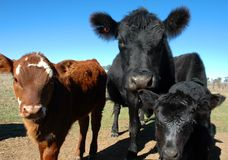Looking at you. Black Cow and two calves. Focus is on the cow royalty free stock image
