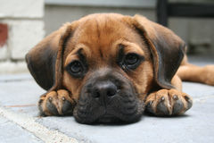 Looking at you. Puggle laying down on a summer day Royalty Free Stock Images