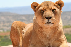 Looking at You. Largehealthy female Lion staring directly at you while lying down Royalty Free Stock Photos