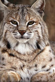 Looking Through You. Closeup of a male Bobcat against a blurred background Royalty Free Stock Images