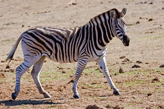 Looking Zebra Royalty Free Stock Images
