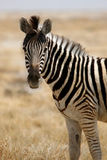 Looking zebra Stock Image