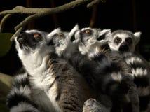Lookingup de los Lemurs Fotos de archivo libres de regalías