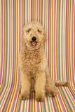 Lookinng que se sienta del perro en el espectador imagenes de archivo