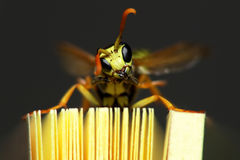 Lookit meeeee. Macro of pet wasp humphrey showing off on a pad of post-it notes Stock Photos