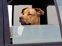 On The Lookout. Patient pooch guarding the car looking out the window Royalty Free Stock Photography
