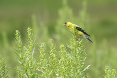 On the Lookout. A yellow finch resting in a field of green plants and grasses Stock Images