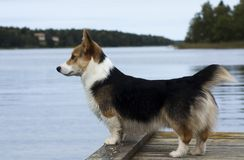 The lookout. Corgi puppy looking out over the water Royalty Free Stock Photo