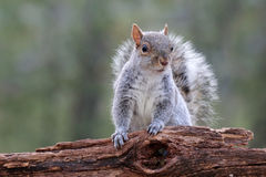 On the Lookout. An eastern gray squirrel (Sciurus carolinensis) on the lookout for predators Stock Images