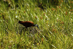African Jacana on the Lookout for Grubs Stock Images