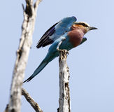 Lookout Lilac Breasted Roller Royalty Free Stock Photography