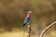 Lookout Lilac Breasted Roller Royalty Free Stock Photo