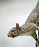Lookout squirrel Stock Images