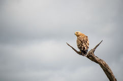 On the lookout, Yellow-Billed Kite Royalty Free Stock Photos