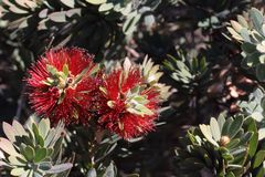 Almost looks like a bottle brush Stock Photo