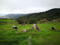 Cattle fields in my field, sabah. Looks like some cows are grassing and the scenery is very beautiful and fresh in the mountains Royalty Free Stock Images