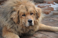 Staring dog. Looks particularly fierce Tibetan mastiff stock photo