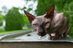 Sphynx cat is enjoying the warmth of a summer day 3/3 stock photo