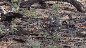 lookung Amarillo-cargado en cuenta del Hornbill para la comida en la tierra metrajes