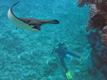 LookUp. Spotted Eagle-ray (Aetobatus narinari) swimming over scuba diver Royalty Free Stock Photography