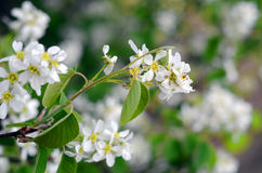 Вlooming bird cherry. Prunus padus Royalty Free Stock Images
