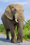 Looming Elephant Royalty Free Stock Images