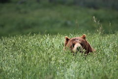 Looming Grizzly Bear. Is hidden in High Grass Bush and waiting for an opportunity to strike Royalty Free Stock Photo