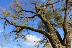 Looming Oak Tree Stock Photos