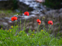 Вlooming poppies. Four poppy flower on a rainy day Stock Photography