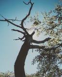 Looming tree royalty free stock photos