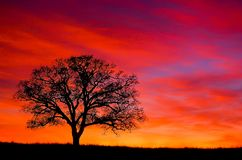 Loomis Sunset with Oak. A brilliant orange and pink sunset silhouette a single oak tree in Loomis, California royalty free stock photo