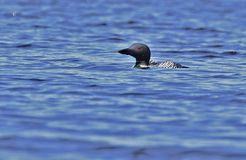 loon Royaltyfria Bilder