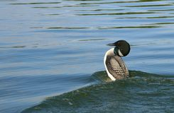Loon Royalty Free Stock Images