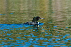 Loon Royalty Free Stock Photos