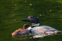 Loon with Baby Chick Begging For Food. Baby Loon Chick begging parent for food. Common Loon Gavia immer in breeding plumage on a northwoods lake in Wisconsin Stock Photos