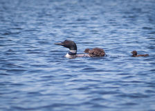 Loon with Chicks Royalty Free Stock Photography