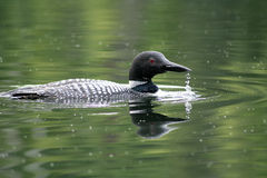 Loon commun Photo libre de droits