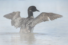 Loon commun images stock
