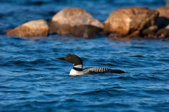 Loon commun adulte sauvage sur le lac wisconsin Photographie stock