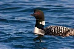 Loon commun dans le plumage de accouplement sur le lac wisconsin photographie stock libre de droits