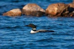 Loon comune adulto selvaggio sul lago wisconsin Fotografia Stock